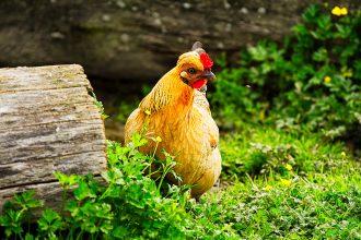 magazynkobiet.pl - kurczak kukurydziany 330x220 - Świadome zakupy – jak wybierać i przyrządzać kurczaka?