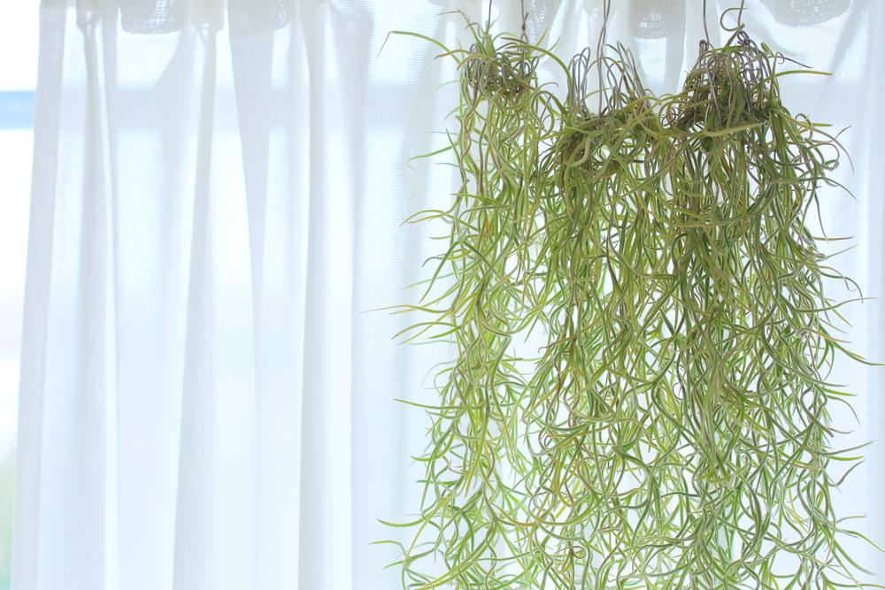 magazynkobiet.pl - oplatwa niebieskawa dlaczego warto hodowac te zadziwiajaca rosline 0 - Oplątwa niebieskawa: dlaczego warto hodować tę zadziwiającą roślinę?