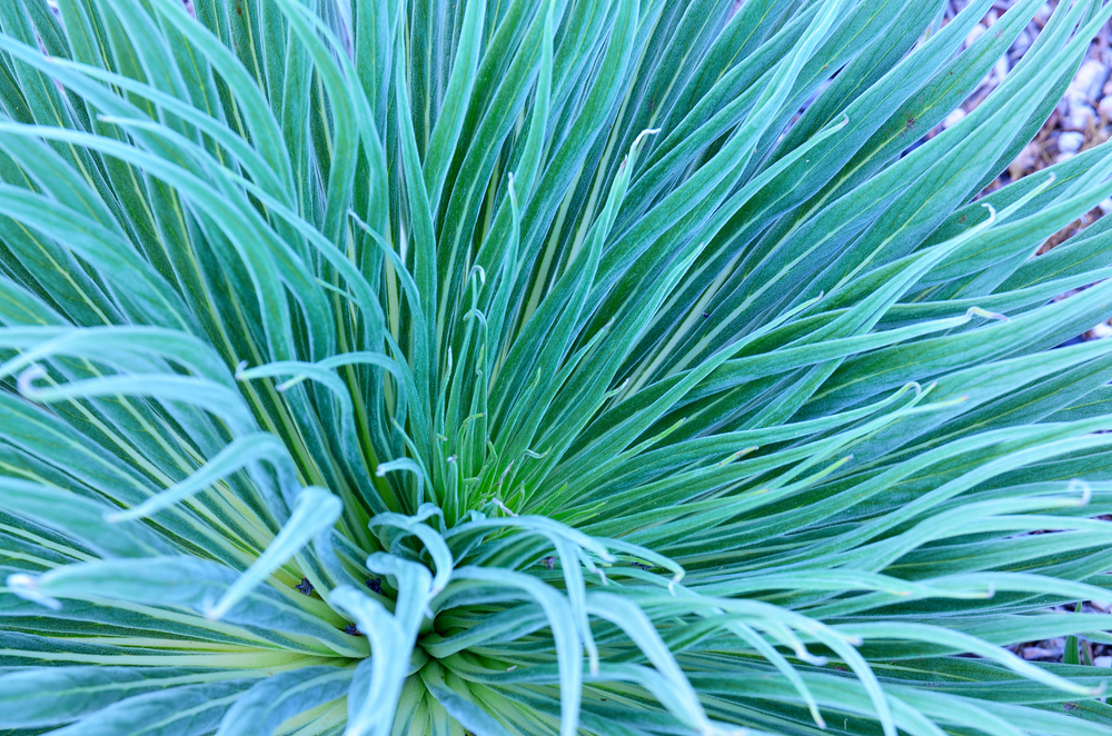 magazynkobiet.pl - oplatwa niebieskawa dlaczego warto hodowac te zadziwiajaca rosline 1 - Oplątwa niebieskawa: dlaczego warto hodować tę zadziwiającą roślinę?