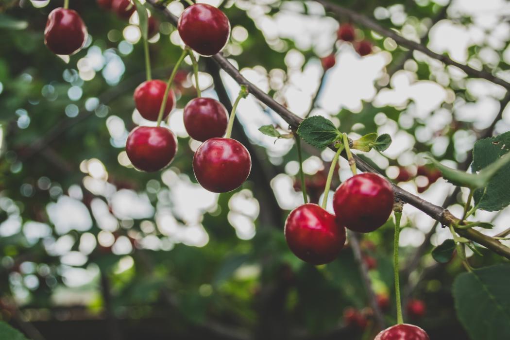 magazynkobiet.pl - cherries 839864 1920 1050x700 - Powody, dla których warto jeść czereśnie