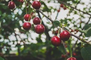 Powody, dla których warto jeść czereśnie