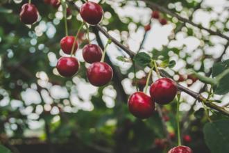 magazynkobiet.pl - cherries 839864 1920 330x220 - Powody, dla których warto jeść czereśnie